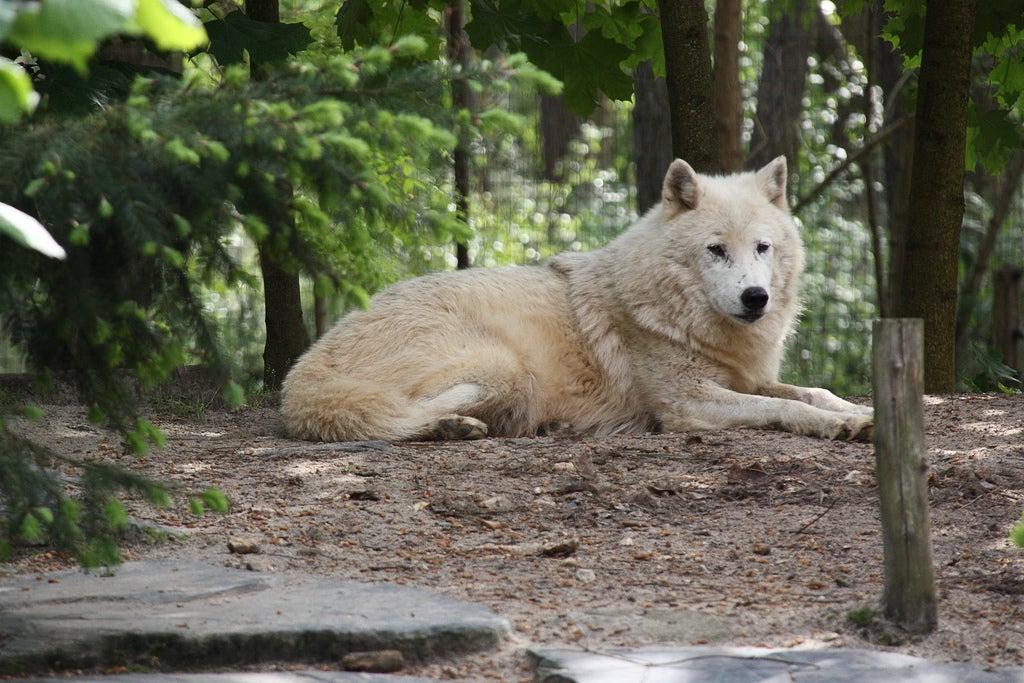 Loup au zoo de la flèche