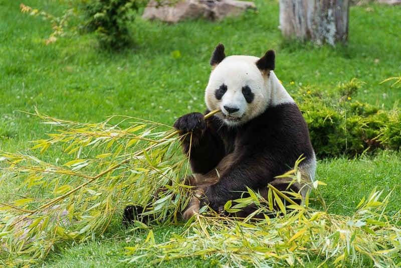 Zoo de Beauval, panda- zoo en france - blog voyage Go Voyages