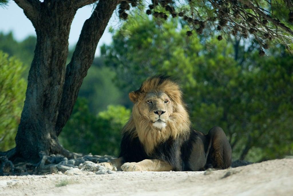 Réserve africaine Sigean lion