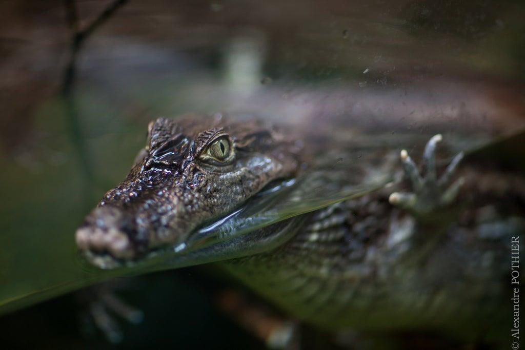 caiman au parc zoologique de montpellier