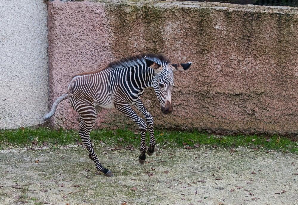 Petit zèbre au zoo de la palmyre