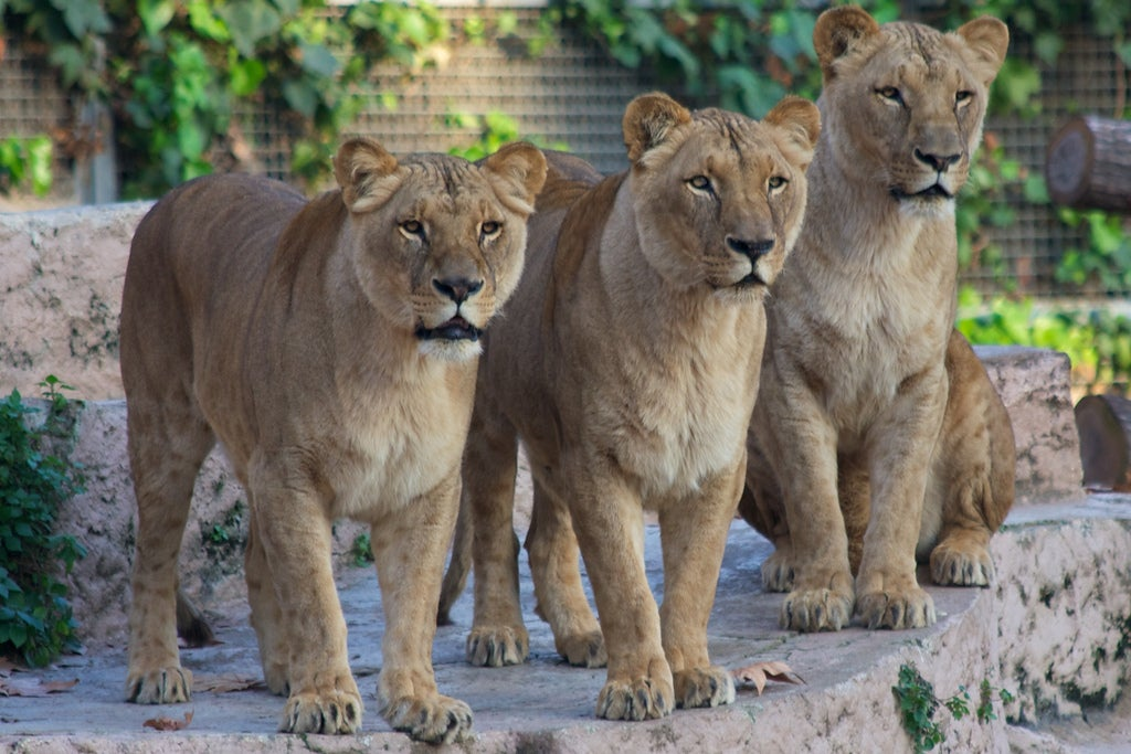 zoo barcelone lionne - blog GO Voyages