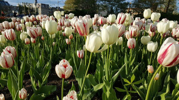 tulipes ottawa canada - blog go voyages
