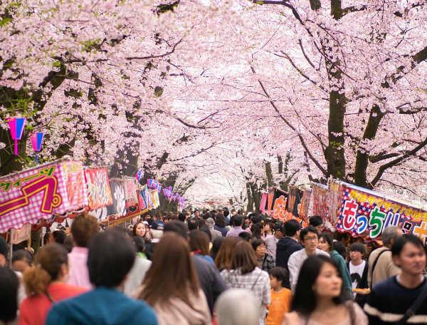 cerisiers en fleurs - blog go voyages