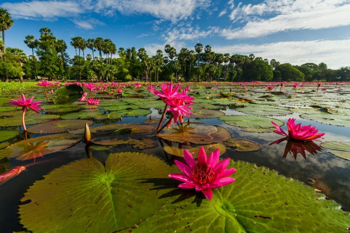 fleur lotus cambodge - blog GO Voyages