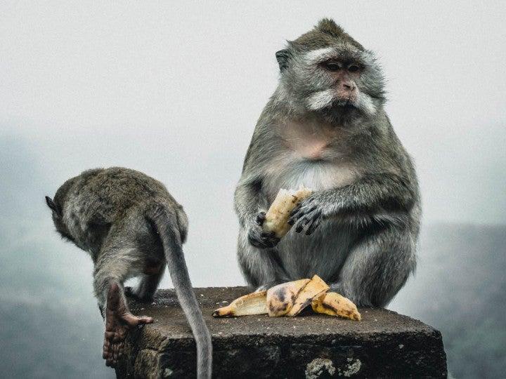 singe banane ile maurice - blog go voyages