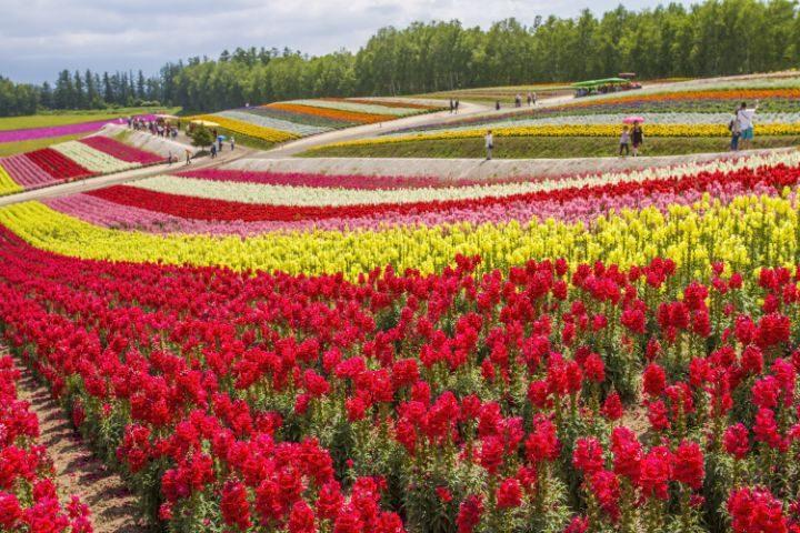 champ fleurs furano japon go voyages